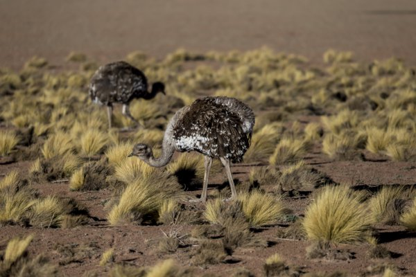 A Pair of Rhea in the Atacama thumbnail
