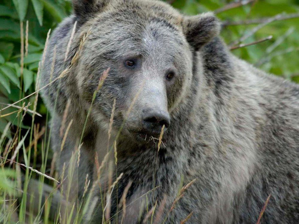 Grizzly_Bear_Yellowstone.jpg