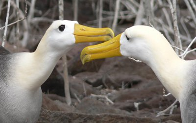 Two waved albatrosses, the only tropical albatross species, courting one another on the Galapagos Islands.