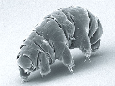 Researchers found that the bears could withstand an impact of up to 900 meters per second and shock pressures of up to 1.14 gigapascals (GPa). Any higher than those speeds, the seemingly invincible water bears turned to mush.