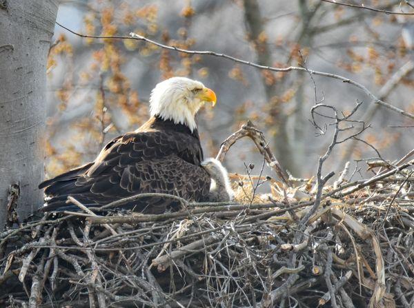 Eagle Snuggles thumbnail