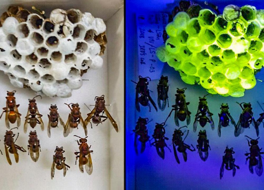 A side-by-side image of an asian paper wasp nest under white light and uv light. The right panel shows a white nest, and the left panel shows the same nest illuminated in bright green.