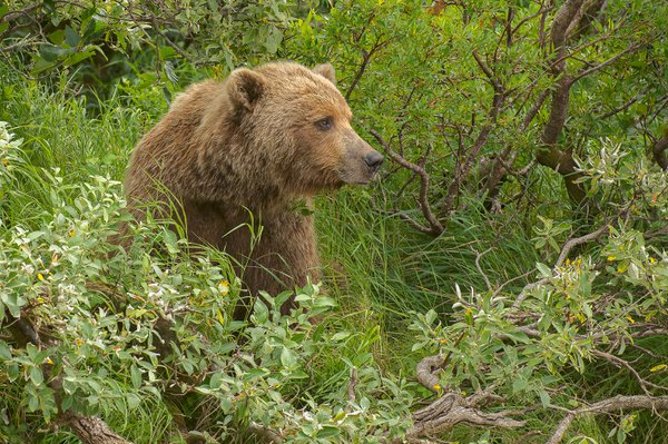 Alaskan Brown Bear thumbnail