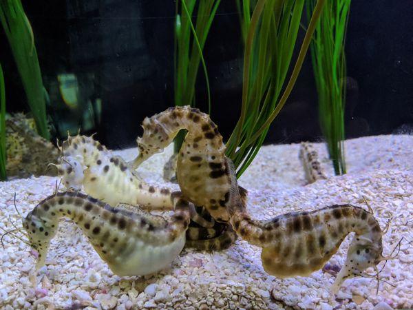 Sea horses thumbnail