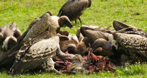 vultures-eating-dead-animal-470.jpg