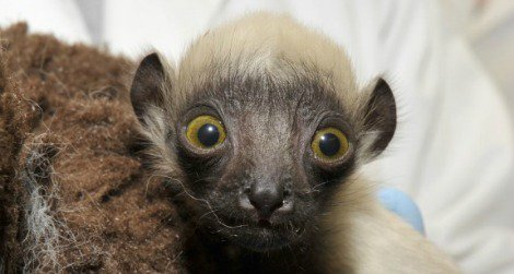 'Beatrice the Swabia' is a baby Coquerel's sifaka