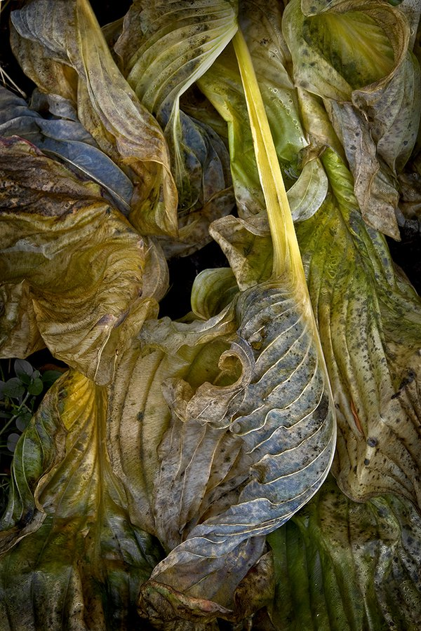 Rococo Wilted Hosta Leaves thumbnail
