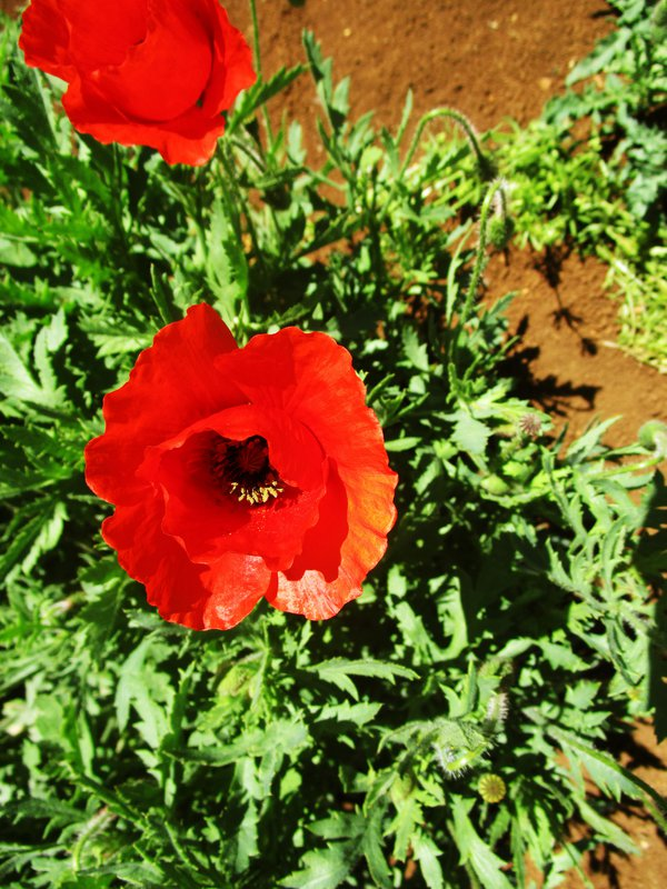 A poppies shrub thumbnail
