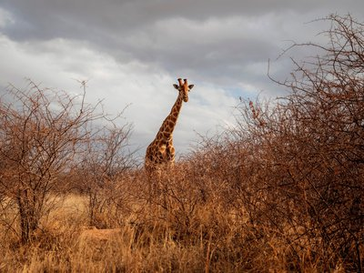 Common wisdom tells us that lightning strikes the tallest thing in an open area—so are giraffes at a greater risk of lightning strikes than other animals?