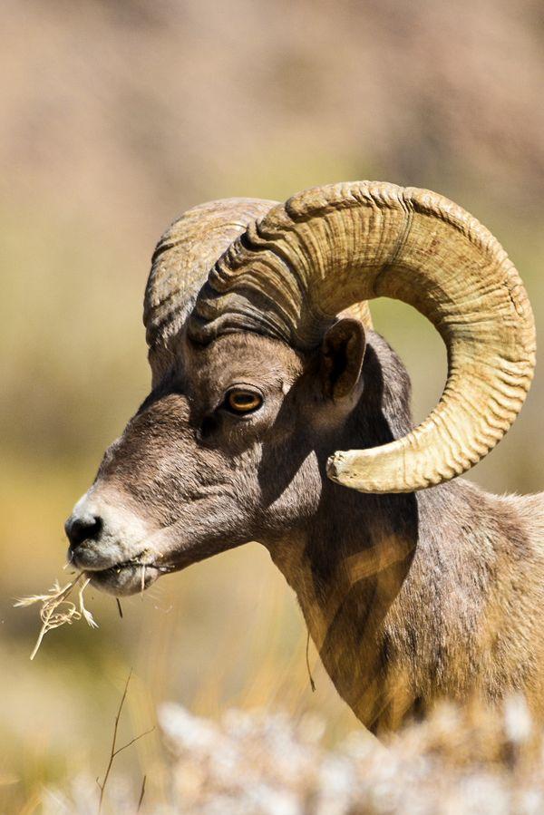 Big Horn Ram enjoying a snack thumbnail