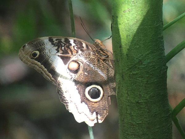 The Snake Camouflage Of the Owl Butterfly thumbnail