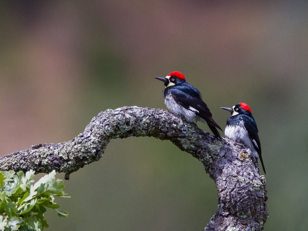 Male acorn woodpeckers, like the one on the left, have more offspring over their lives when they're polygamous, according to new research. (Vivek Khanzode)