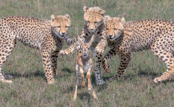Cheetah Hunting Thompson's Gazelle thumbnail
