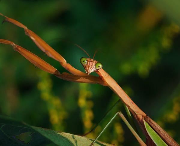 Praying Mantis Looks Shocked to See Me thumbnail