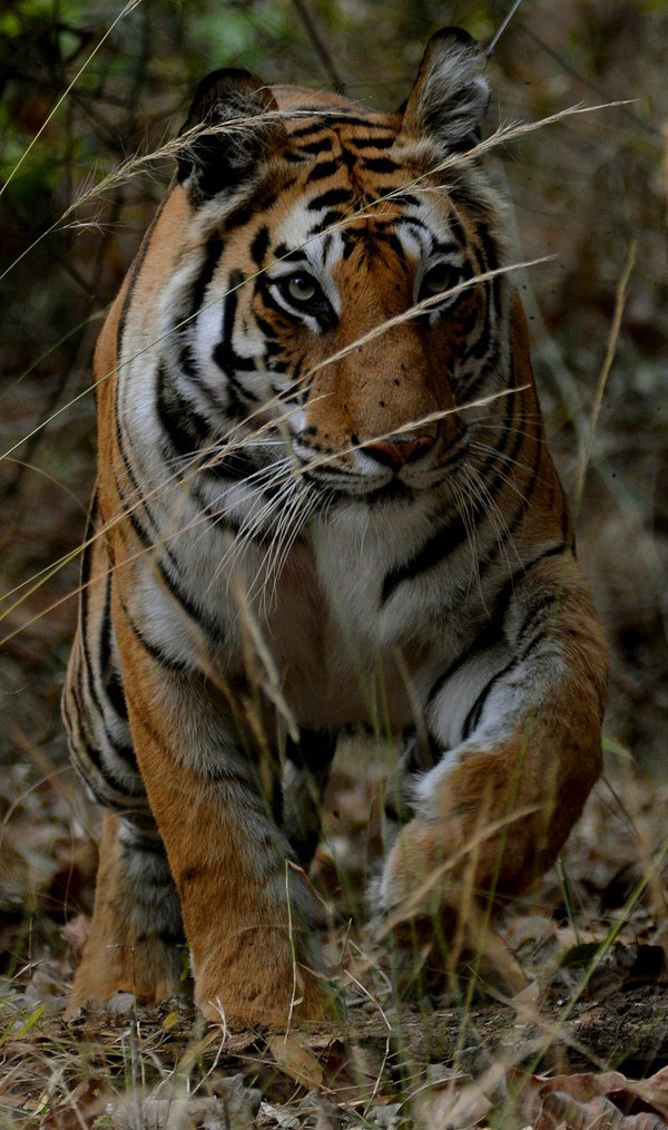 Charging Tiger thumbnail