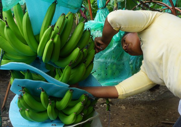 Banana plantation harvest thumbnail