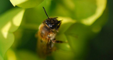 The honeybee, Apis mellifera, is in trouble because of colony collapse disorder.