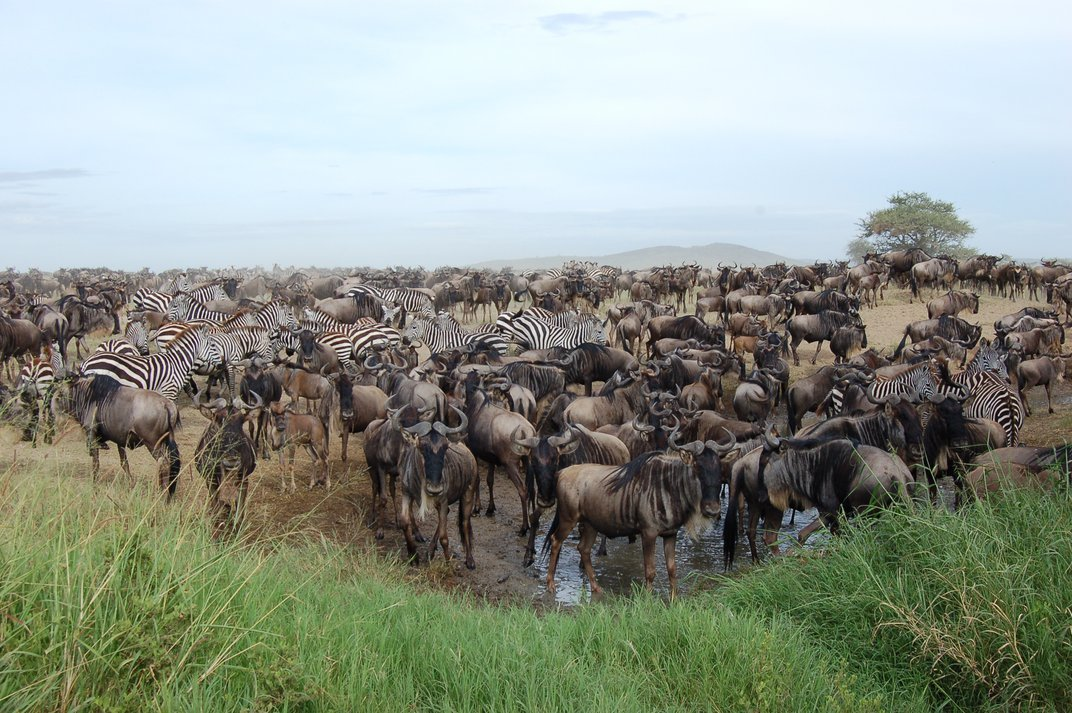 How Noisy Males Control the Gnu's Cycle