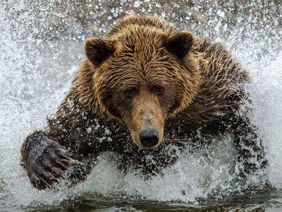 A brown bear hunts for salmon in Silver Salmon Creek.