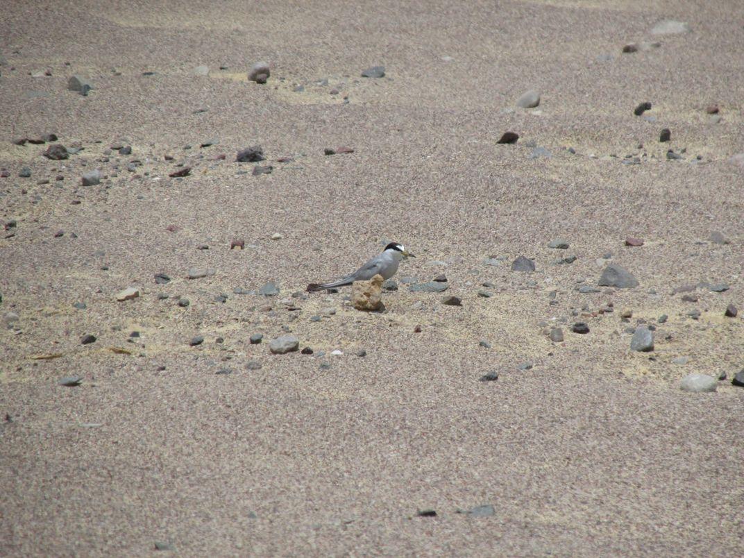 A small shorebird bird, called a Peruvian tern, stands camouflaged among the sand and rocks of its desert nesting habitat
