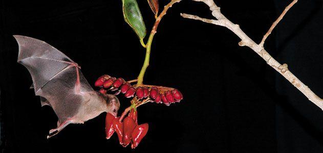 Wild-Things-pollinating-bats-631.jpg