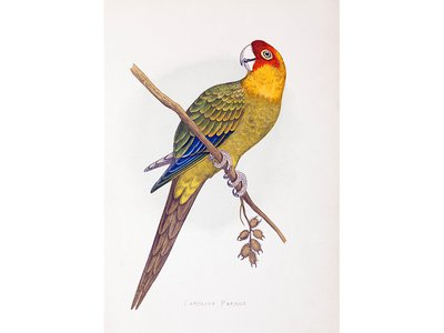 """The Carolina parakeet, so named for the region where it was discovered, was known for its """"disagreeable screams"""" and great beauty."""