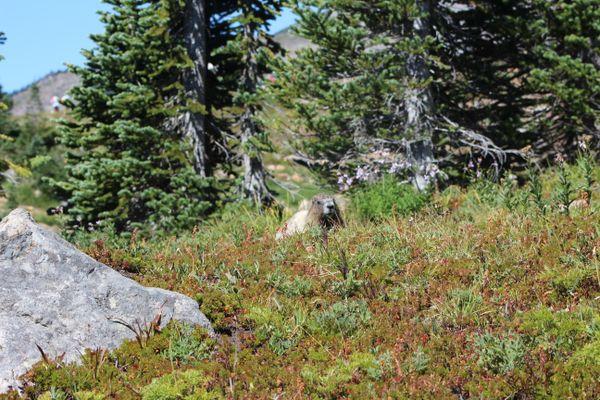 Marmot on Mount Rainier thumbnail
