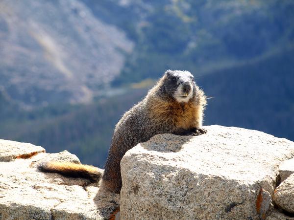 Sensitivity of Marmots thumbnail
