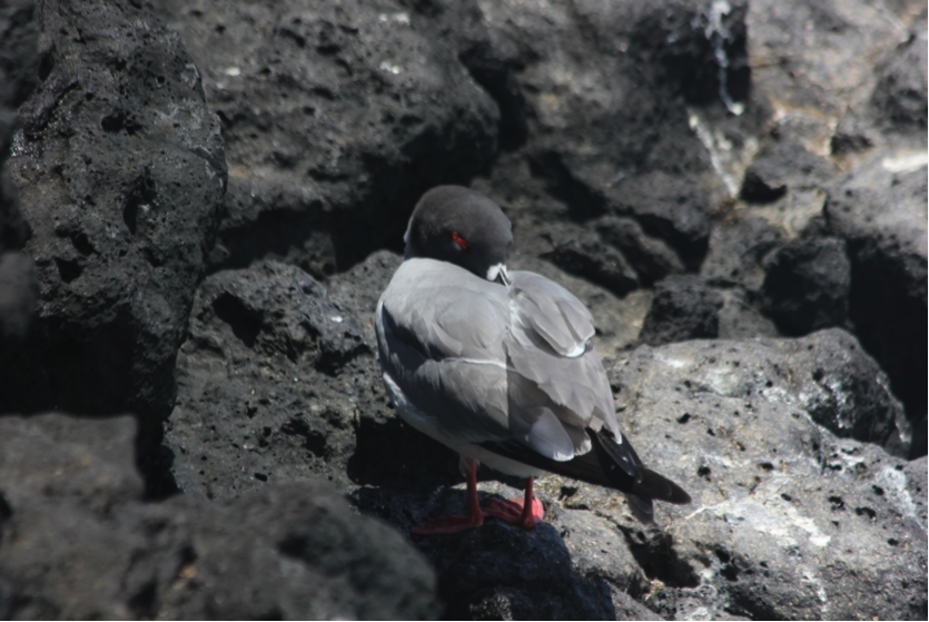 A nocturnal Swallow-tailed Gull sneaks in an afternoon nap, purposefully placing its beak atop its back and under its feathers to rest its neck and stay warm.