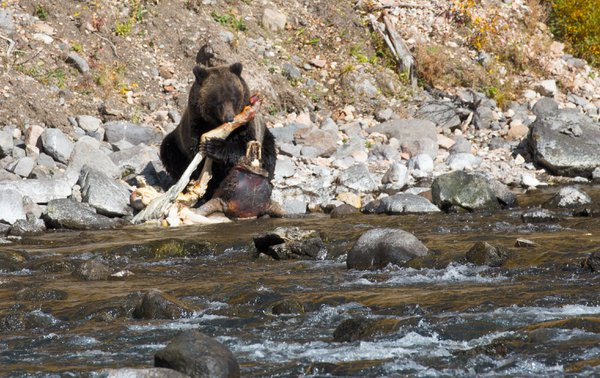 Grizzly bear eating old bison carcass thumbnail