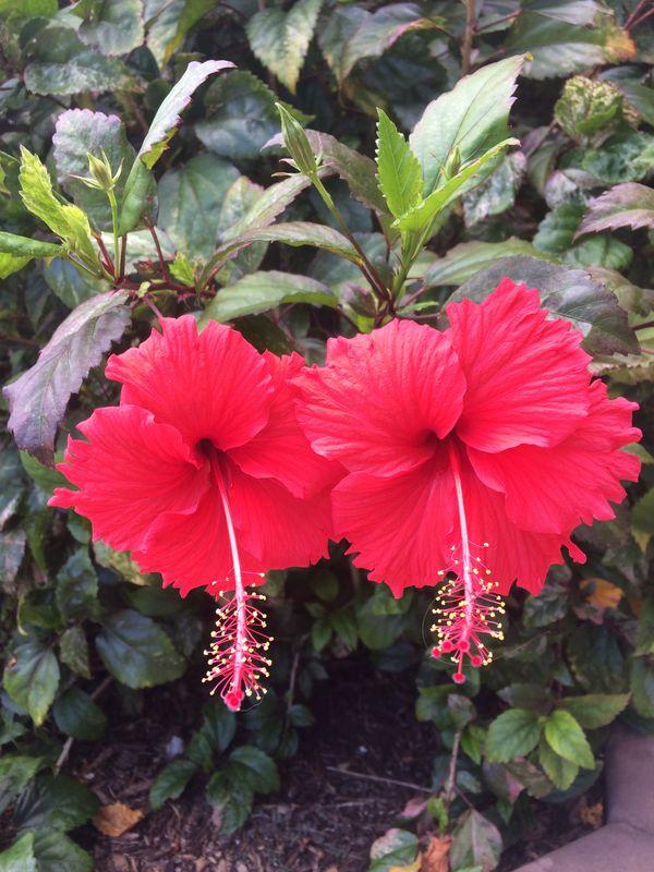 Hibiscus Twins thumbnail