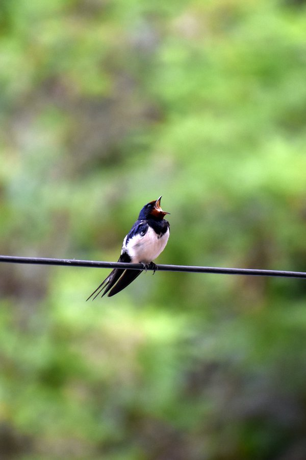 Barn Swallow Bird II, Thessaloniki, Greece thumbnail