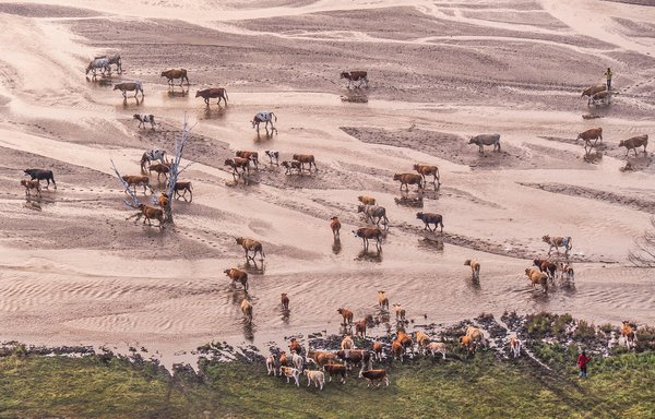 A herd of cattle walk across the river   thumbnail
