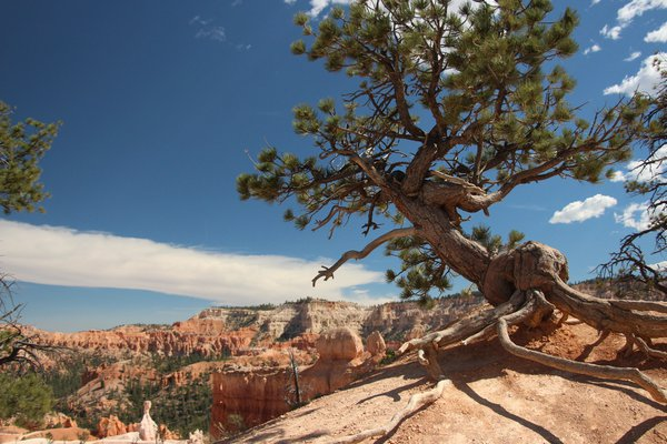 Tree in Bryce thumbnail