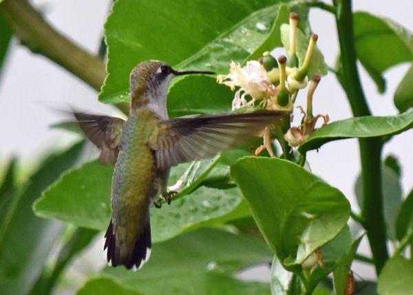 Hummingbird at lemon nectar thumbnail