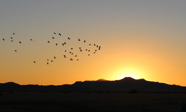 Sandhill Cranes Fly In thumbnail