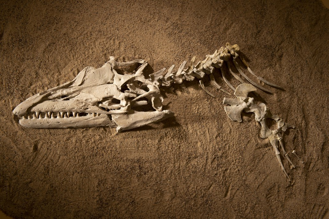 """A fossil mosasaur skull and partial skeleton excavated from Angola's coastal cliffs for display in """"Sea Monsters Unearthed,"""" opening November 9."""