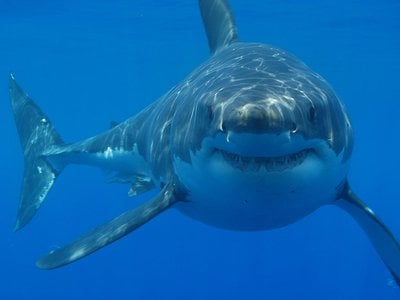 A great white shark, probably considering its species' triumph over the now-extinct megalodon