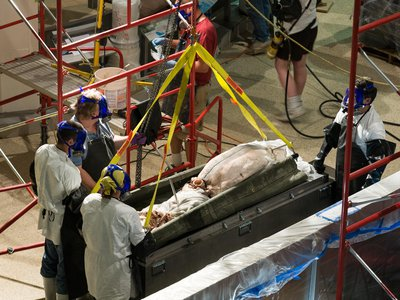 Scientists at the Smithsonian's Museum Support Center in Suitland, Maryland extract a giant squid from its original formalin preservative.