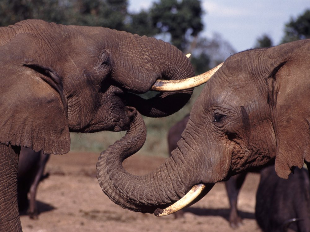 Elephant_With_Trunk_In_Others_Mouth.jpg