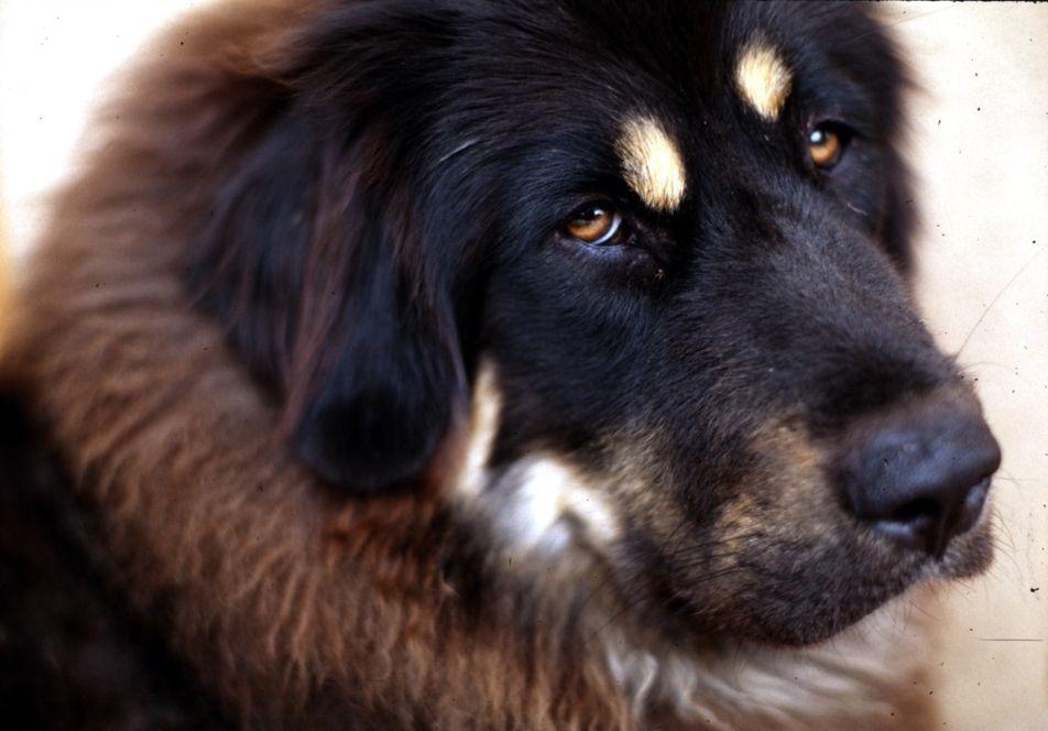 Tibetan_Mastiff_001.jpg