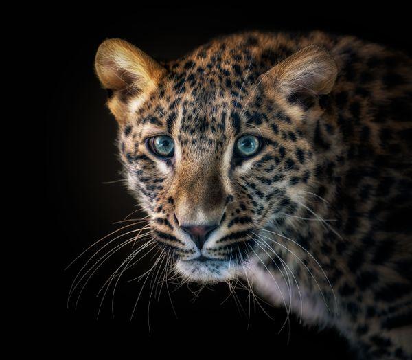 Leopard (Panthera pardus) thumbnail