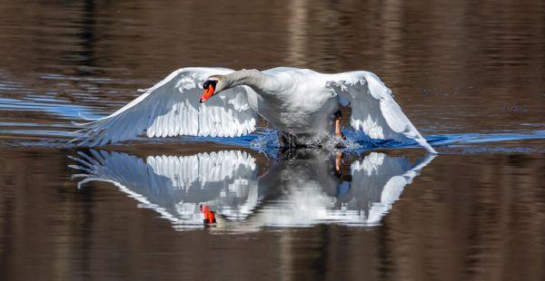 Mute Swan take-off reflection. thumbnail