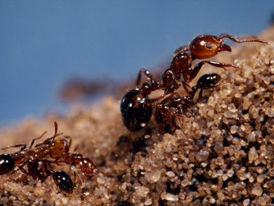The fire ant has spread like wildfire around the world, thanks to a winning combination of traits and a little help from humans.