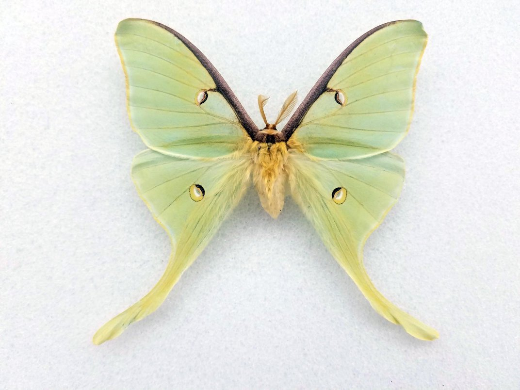 Preserved green and yellow luna moth on white background