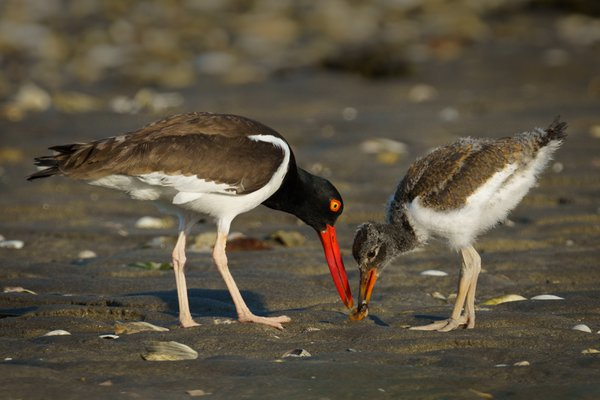 The hand off - American Oystercatchers thumbnail