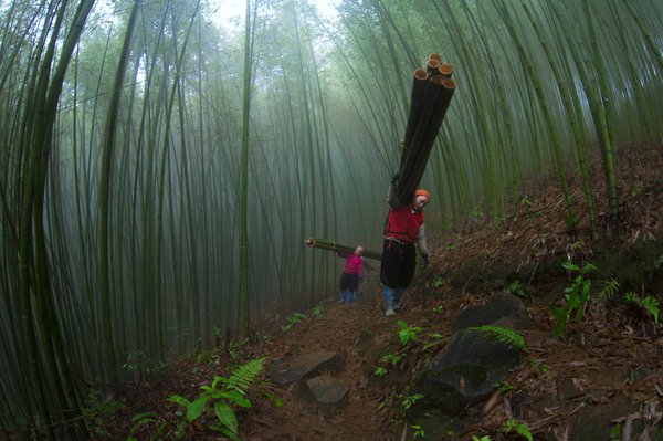Women work in bamboo forest thumbnail