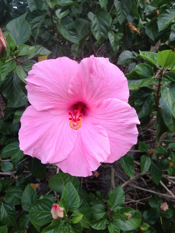 A pink hibiscus while walking outside thumbnail