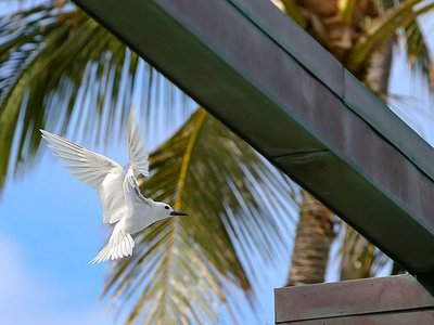 A seabird known as the white tern or Manu-o-Kū has surprised birders by taking up residence in Honolulu, Hawai'i.