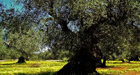 An olive tree in Italy